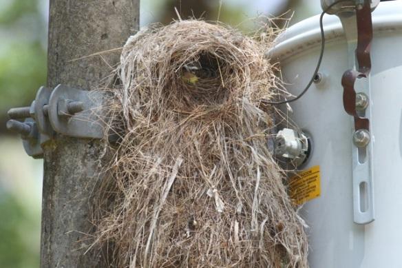 Great kiskadee nest, 25 March 2014