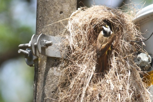 Great kiskadee nest, parent feeding, 25 March 2014