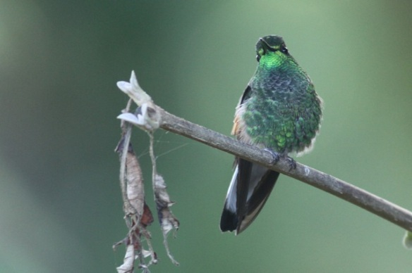 Green-crowned brilliant male, 27 March 2014