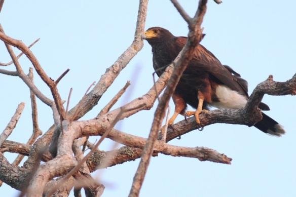Harris's hawk, 22 March 2014