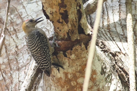 Hoffmann's woodpecker, 25 March 2014