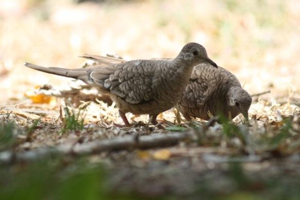 Inca doves, 25 March 2014
