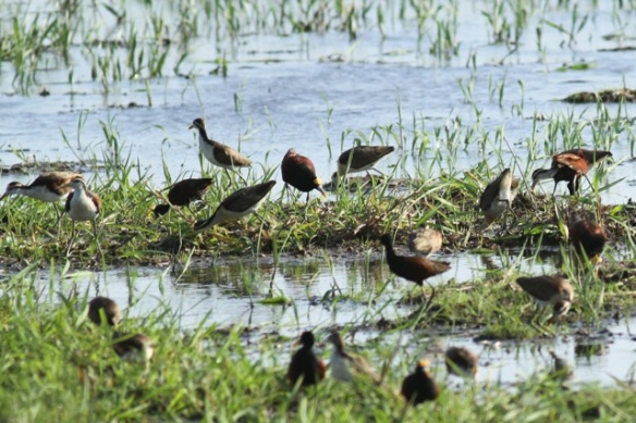 Jacanas, adults and juveniles, 22 March 2014