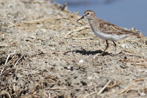 Least sandpiper, 23 March 2014