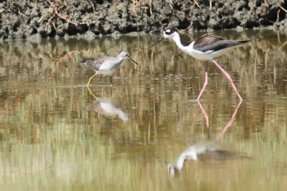 Lesser yellowlegs and black-necked stilt, 23 March 2014