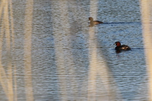Little grebes, 17 May 2014