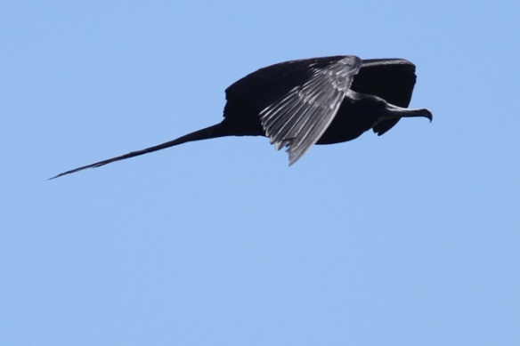 Magnificent frigatebird, 23 March 2014