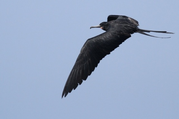 Magnificent frigatebird, adult, 25 March 2014