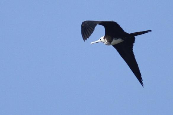 Magnificent frigatebird, juvenile, 25 March 2014