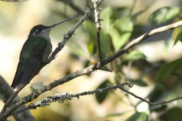 Magnificent hummingbird female, 27 March 2014