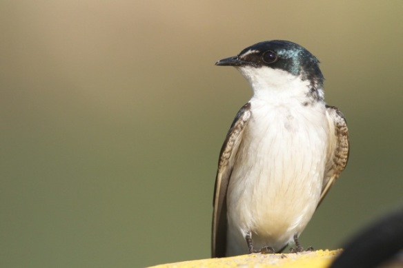 Mangrove swallow, 25 March 2014