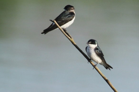Mangrove swallows, 25 March 2014
