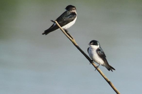 Mangrove swallows, 25 March 2014