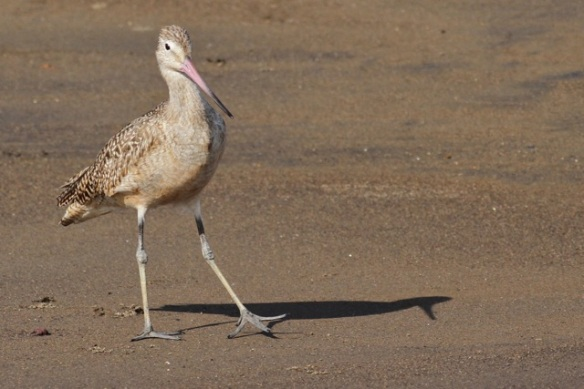 Marbled godwit, 25 March 2014