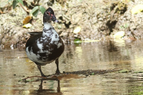 Muscovy duck, 25 March 2014