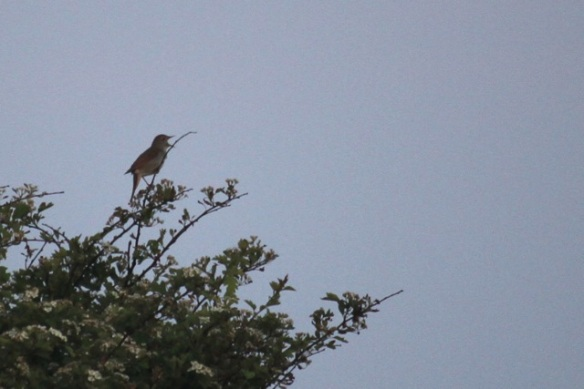 Nightingale sings, 17 May 2014