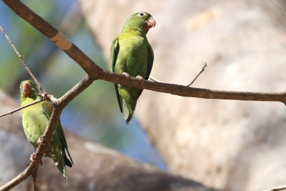 Orange-chinned parakeets, 23 March 2013