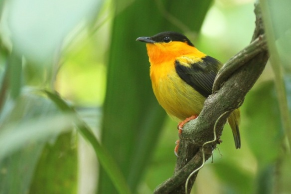 Orange-collared manakin, 24 March 2014