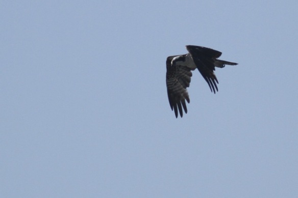 Osprey, 25 March 2014