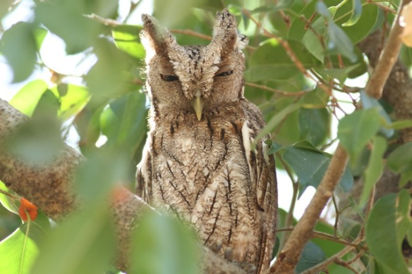 Pacific screech owl, 23 March 2014