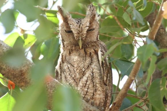 Pacific screech owl, 23 March 2014