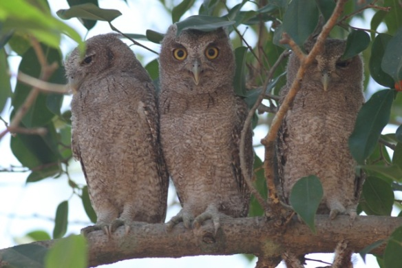 Pacific screech owls, 23 March 2014