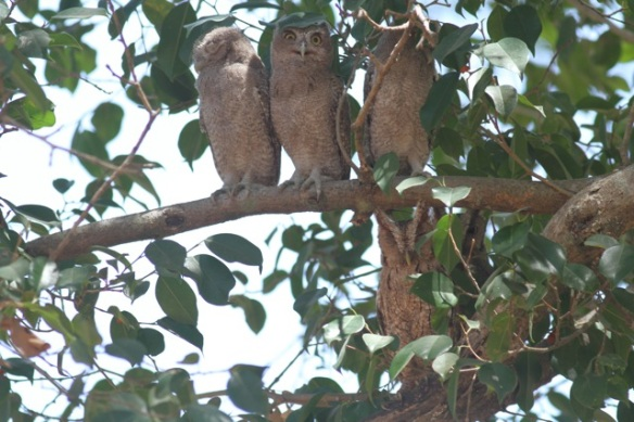 Pacific screech owls, Costa Rica, 23 March 2014