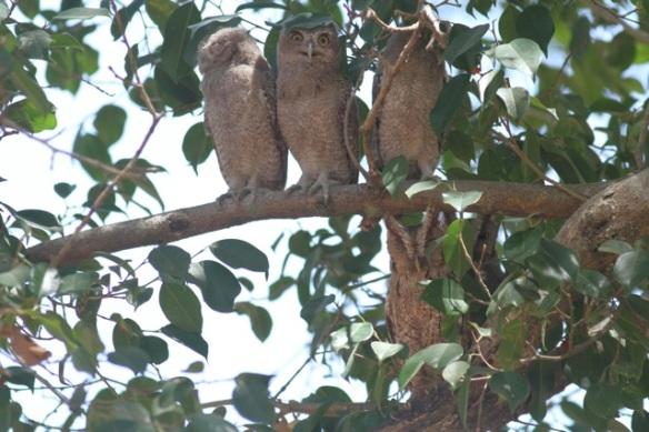 Pacific screech owls, Costa Rica, 23 March 2014