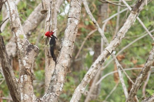 Pale-billed woodpecker, 25 March 2014