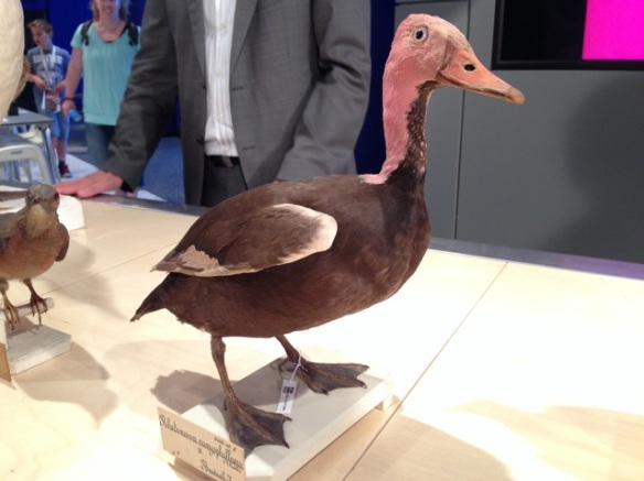 Passenger pigeon and pink-headed duck, Naturalis