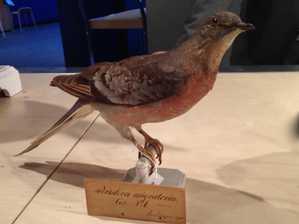 Passenger pigeon, Naturalis