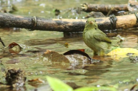 Red-capped manakin female in stream, 24 March 2014