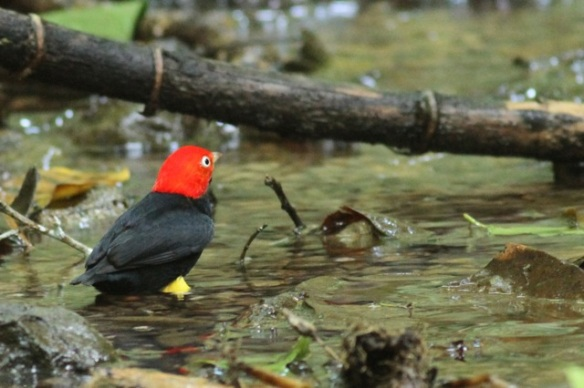 Red-capped manakin male in stream, 24 March 2014