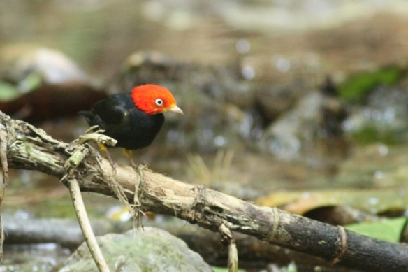 Red-capped manakin male on branch, 24 March 2014