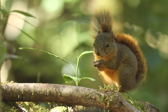 Red-tailed squirrel, 27 March 2014