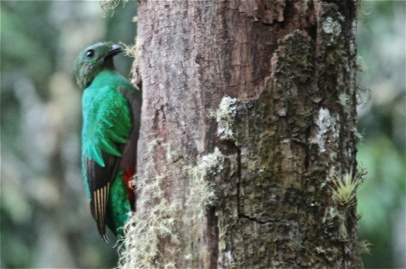 Resplendent quetzal female back to nest, 27 March 2014