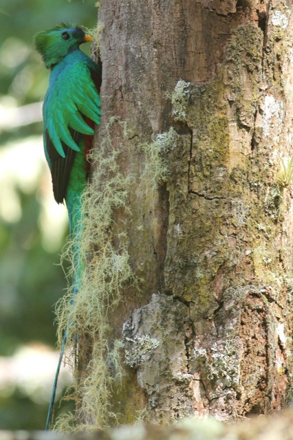 Resplendent quetzal male back to nest, 27 March 2014