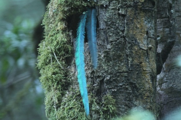 Resplendent quetzal male tail at mossy tree nest, 27 March 2014