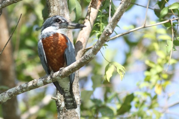 Ringed kingfisher, 25 March 2014
