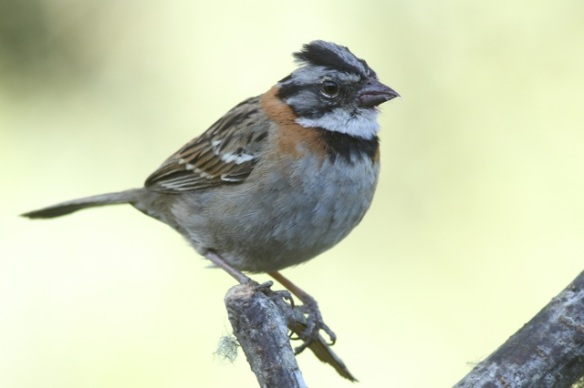 Rufous-collared sparrow, 27 March 2014
