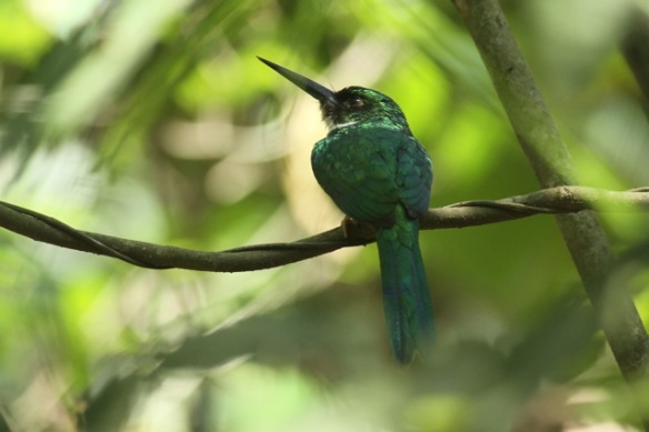 Rufous-tailed jacamar, 24 March 2014