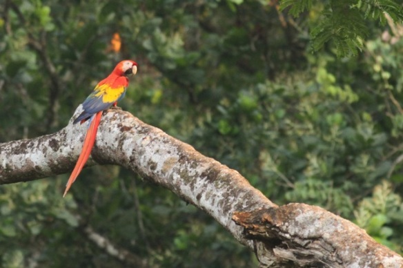 Scarlet macaw, 24 March 2014