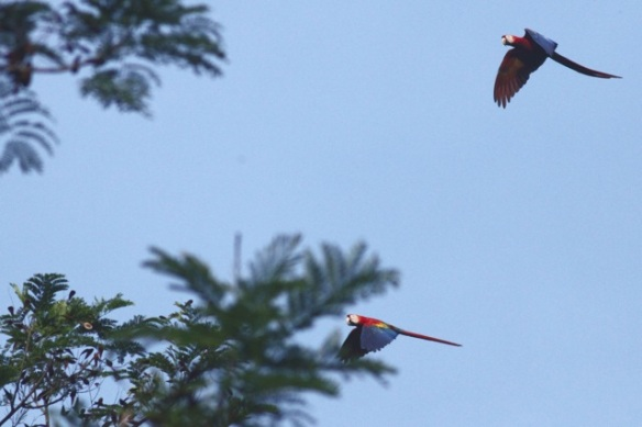 Scarlet macaws, 26 March 2014