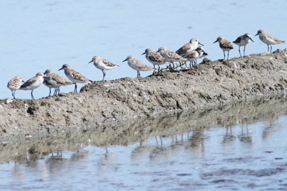 Semipalmated sandpipers, with a western sandpiper, 23 March 2014
