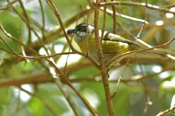 Sooty-capped bush tanager, 27 March 2014