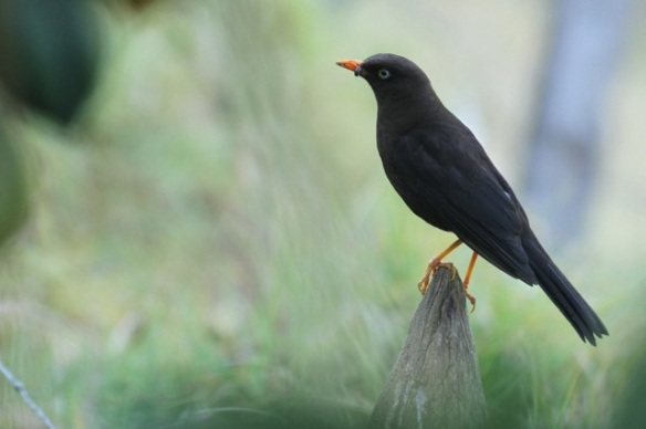 Sooty thrush male, 27 March 2014