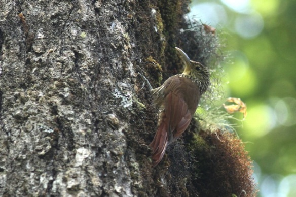 Spot-crowned woodcreeper, 27 March 2014