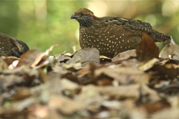 Spotted wood-quail, 27 March 2014