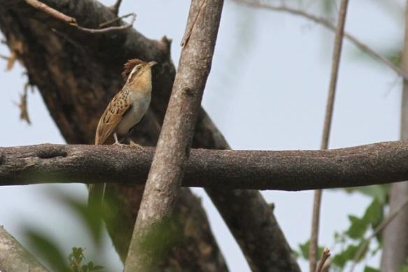 Striped cuckoo, 25 March 2014