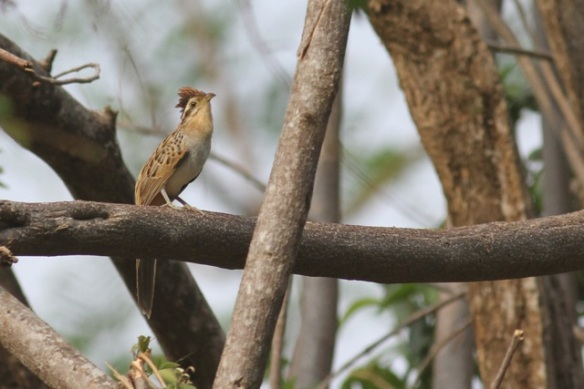 Striped cuckoo on branch, 25 March 2014